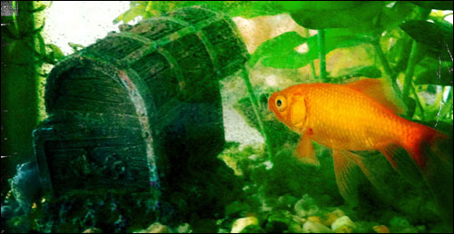 Goldfish contemplating sunken treasure chest.