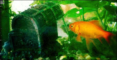 Goldfish contemplating sunken treasure chest.
