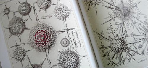 Haeckel Illustration 1