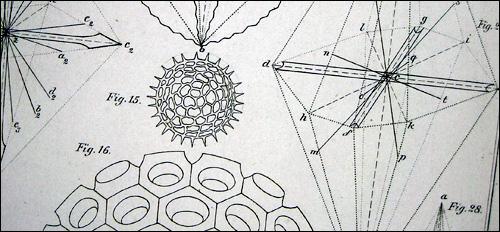 Haeckel Illustration 3