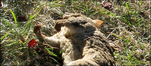 A Dead Possum